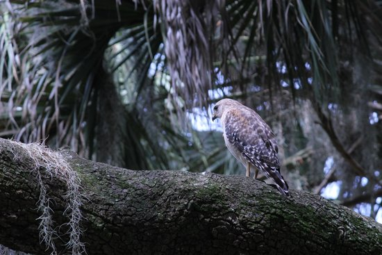 Myakka River State Park: A red-shouldered hawk hunting from the trees