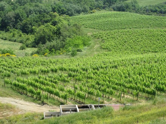Palazzo Bandino vineyard