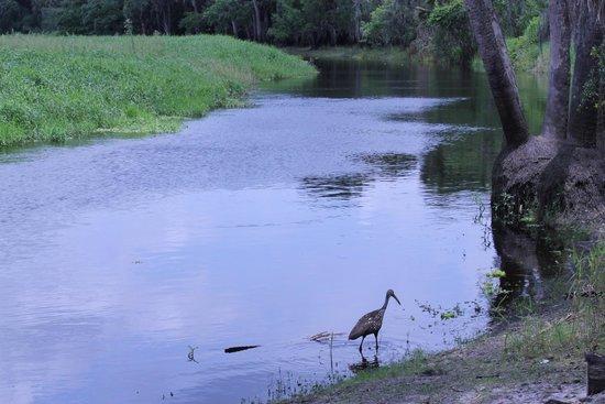 Myakka River State Park: A limpkin walking the edge of a creek