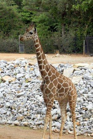 Zoo Atlanta: Giraff