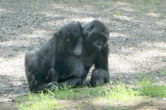 Zoo Atlanta: Monkey relaxing