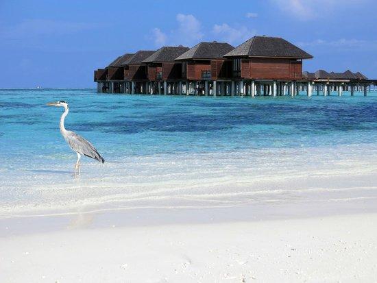 Olhuveli Beach & Spa Maldives : Water Villas (and a cheeky Heron)