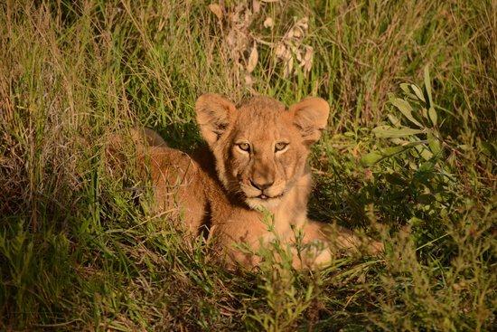 Nkorho Bush Lodge: Styx pride cub