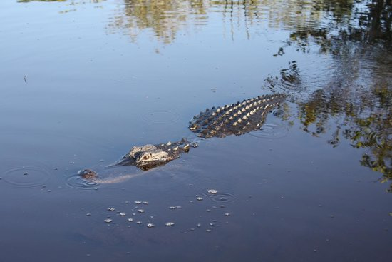 Airboat In Everglades : Gator