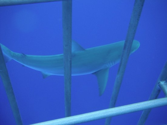 Hawaii Shark Encounters: shark encounter