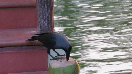 Kalathil Lake Resort: crow drinking coconut water