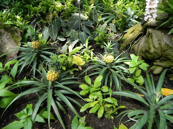 I Giardini di Castel Trauttmansdorff : Ananas