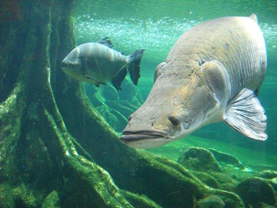 CosmoCaixa Barcelona : esempari di pesci nella grande vasca