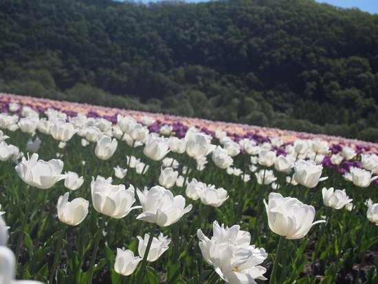 Tulip Park : オランダの品種もあるみたい
