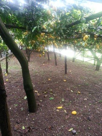 Agriturismo Villa Maria: Lemon garden