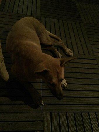 Centara Villas Samui : Resident dog
