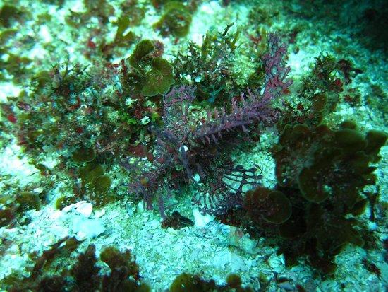 Aliwal Shoal Scuba: weedy scorpionfish