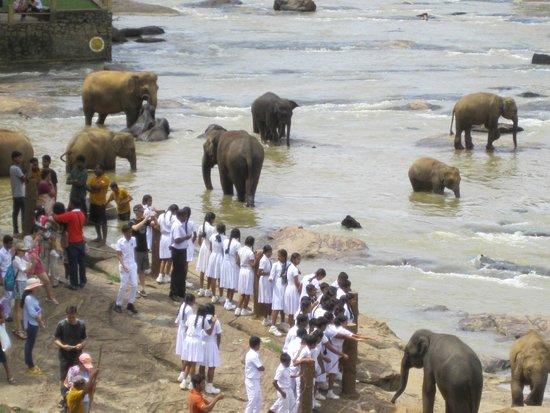 Pinnawala Elephant Orphanage: Elephants in the river