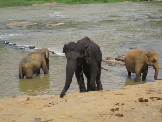 Pinnawala Elephant Orphanage: A dark elephant, the only one I saw