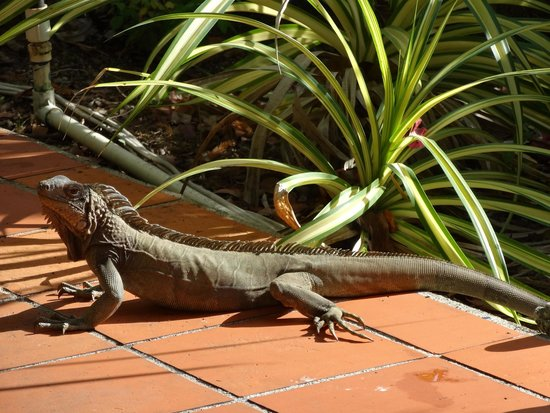 The Green Iguana Hotel : Iguanas wander through the common garden area