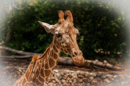 Safari Park : Люблю жирафов