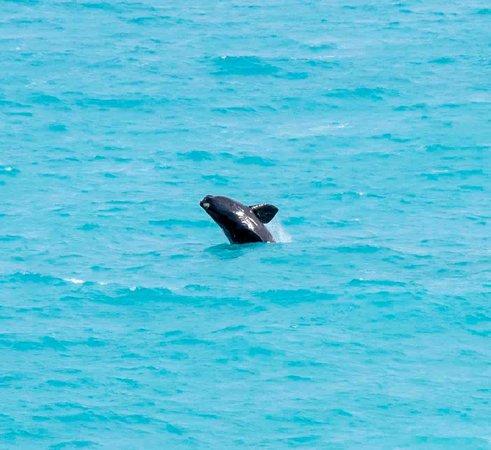 Ceduna, Australien: Whale breach