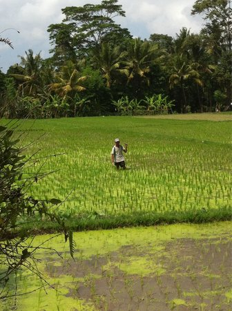 Cendana Resort and Spa : Locals working at the paddy fields