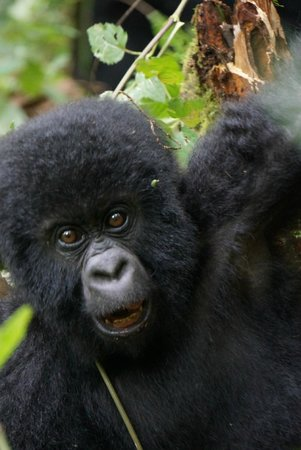 Mikeno Lodge: Gorilla Trekking DRC