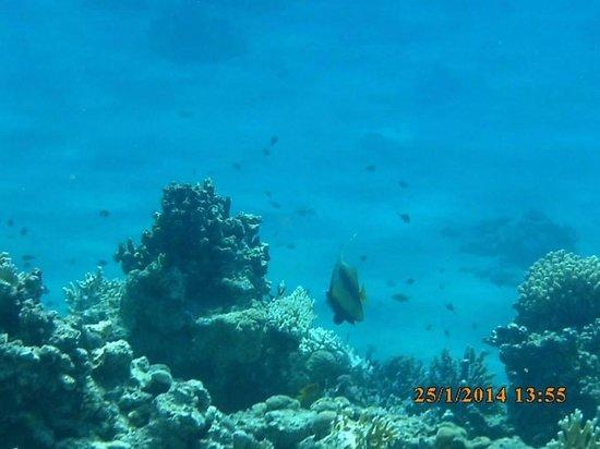 Aurora Oriental Resort Sharm El Sheikh : Snorkelling!