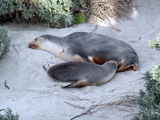 Kangaroo Island Odysseys: otarie in spiaggia