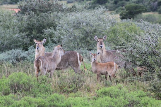 Amakhala Quatermain's Camp: waterbucks