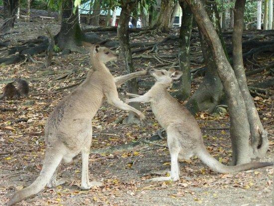 Wildlife Habitat Port Douglas: Big kangaroo trying to mate