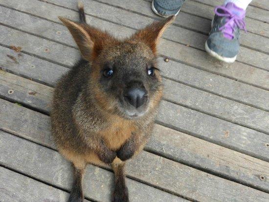 Wildlife Habitat Port Douglas: small kangaroo (that you can feed)