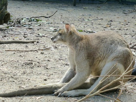 Wildlife Habitat Port Douglas: kangaroo (that you can feed)