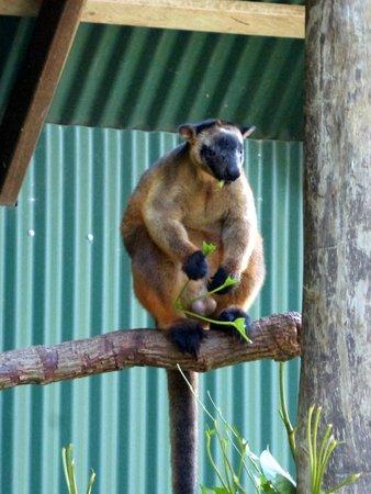 Wildlife Habitat Port Douglas: tree kangaroo