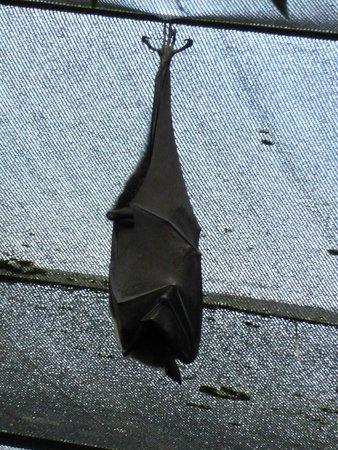 Wildlife Habitat Port Douglas: Fruit bat