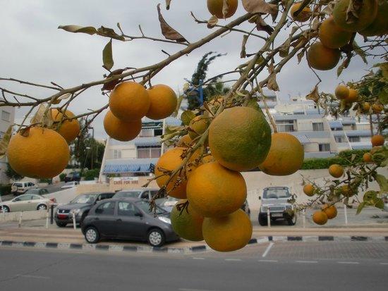 Mediterranean Beach Hotel : На дороге прямо возле отеля растут апельсинчики