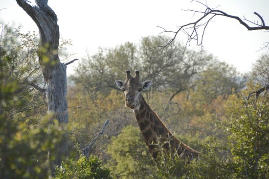 Naledi Bushcamp and Enkoveni Camp : giraffe