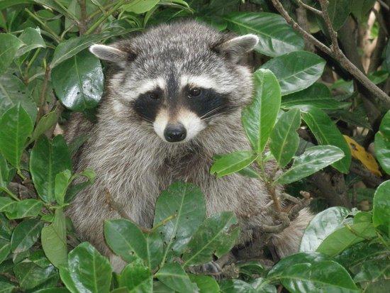 Wild- und Freizeitpark Klotten Cochem: feeding the raccoon.