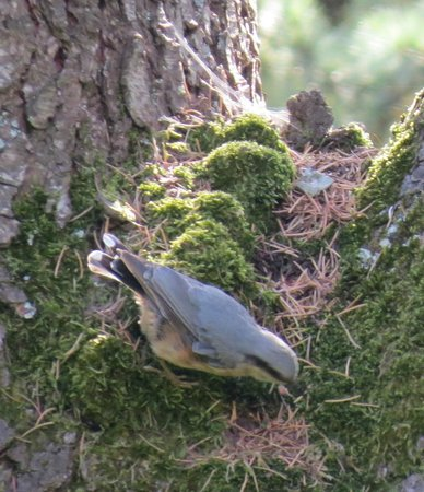Le Jardin Sarlat: A Nuthatch in the garden