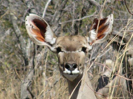Elephant's Eye, Hwange: Kudu in Hwange NP