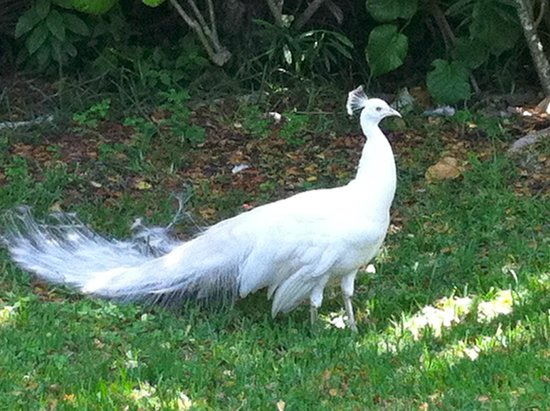 IBEROSTAR Paraiso Del Mar: Ever seen a white peacock??? They have one here!!!