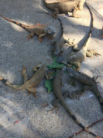 Roatan Christopher Tours: You get to play and feed the Iguanas