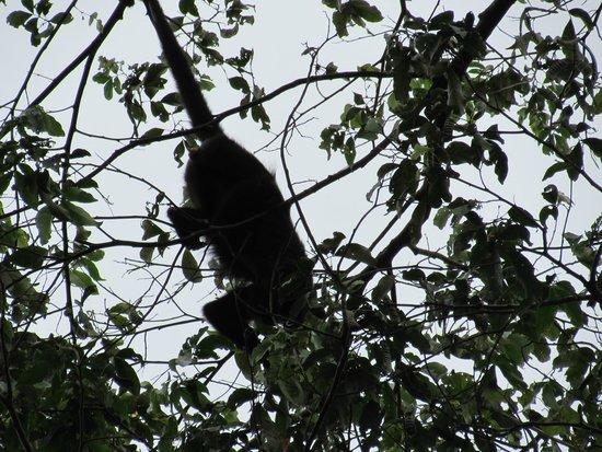 Monkey River Tour: Howler