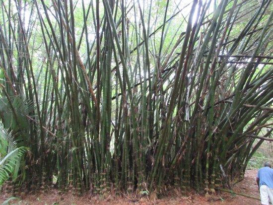 Monkey River Tour: Bamboo anyone?