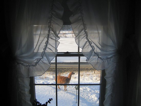 Blueberry Farm Bed & Breakfast: one of owners' llamas (seen from our bedroom window!)