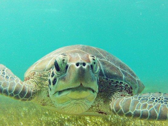 Turtle Snorkeling in Akumal: Shot of a turtle at Akumal