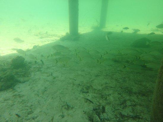 Lime Tree Bay Resort : Snorkeling under/around the dock