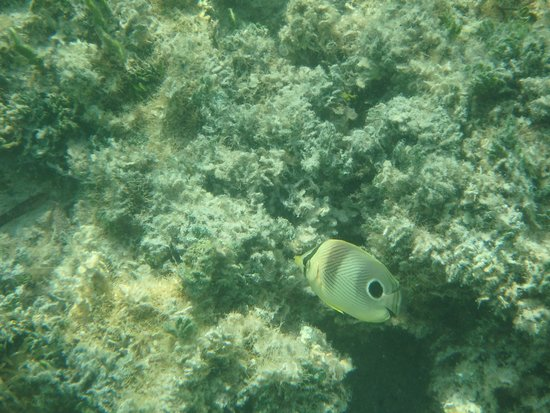 Lime Tree Bay Resort : A type of butterflyfish I believe, seen snorkeling the grounds.