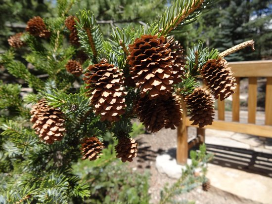 Cluster of tiny pine cones on a small bush. - Picture of ...