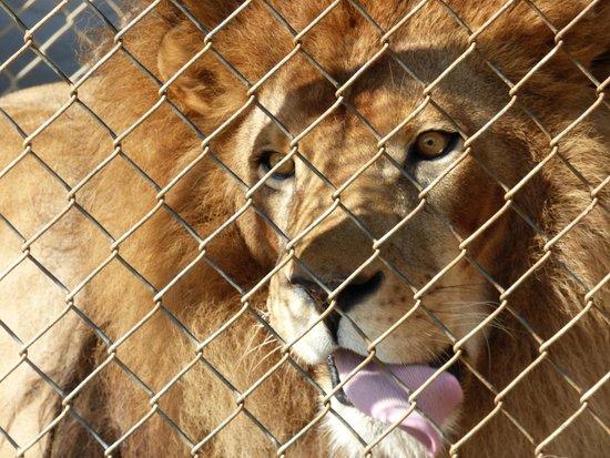 Vision Quest Safari Bed & Breakfast : Feeding Jacob the lion