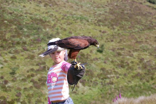 North Devon Hawk Walks: My 6 year old daughter with Cassius