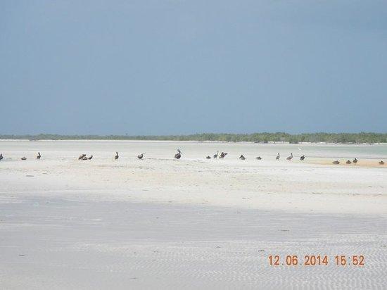 Villas HM Paraiso del Mar: Pelicans on the sand bar