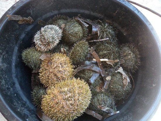 Anika Island Resort: A bucketfull of live sea urchins
