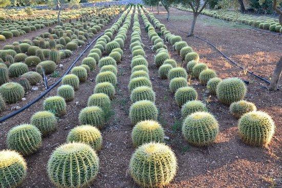 Dimore del Valentino: Cactus fields